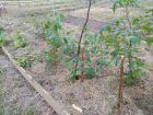 W czerwcu mamy pierwsze pomidory