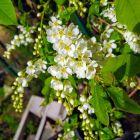 A drzewa kwitną z cudownym zapachem