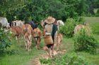 Pastuszek z bydłem