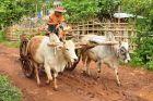 Wóz z wołami