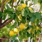 Omodos - cytryny