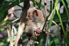 Upiór wyrak - rezerwat Corella