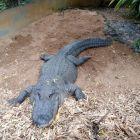 Park Vanilla - krokodyl