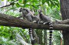 Lemury w natarciu