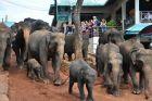 Pinawella - słonie idą do rzeki