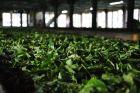 Labookellie - fabryka herbaty
