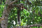Czarne wiewiórki azjatyckie