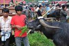 Pasar Bolu w Rantepao - targ świn i bawołów