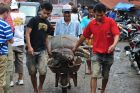Zakupiona świnka wyjeżdża na taczce