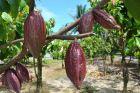 Drzewo z owocami kakaowca