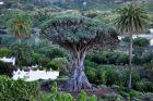 Icod, Drzewo Drago Millenario
